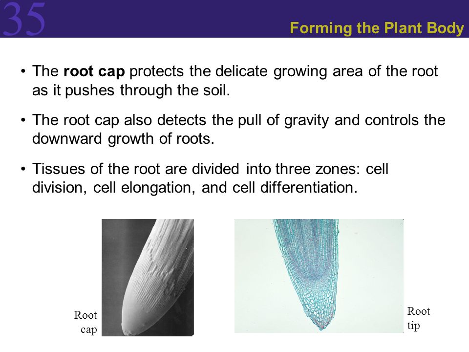 Forming the Plant Body The root cap protects the delicate growing area of the root as it pushes through the soil.