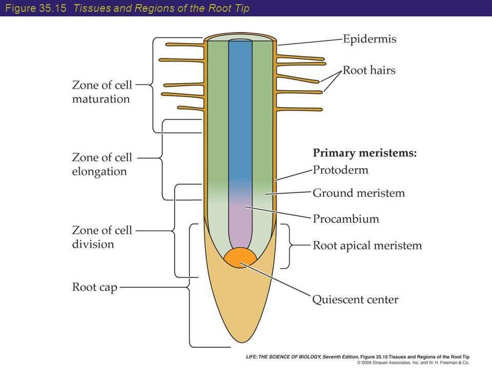 Figure Tissues and Regions of the Root Tip