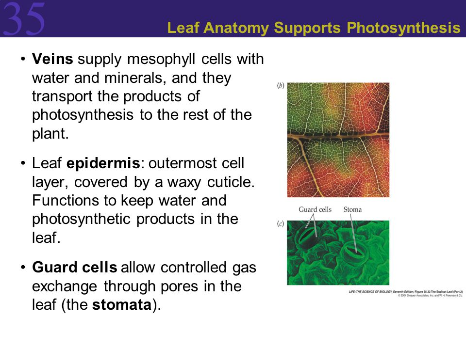 Leaf Anatomy Supports Photosynthesis