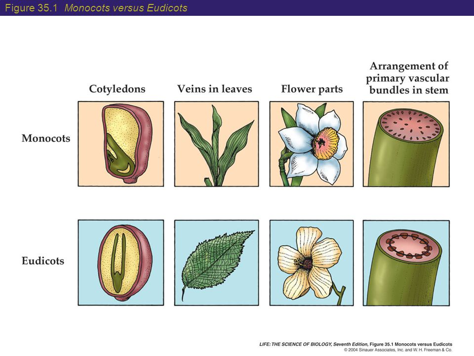 Figure 35.1 Monocots versus Eudicots