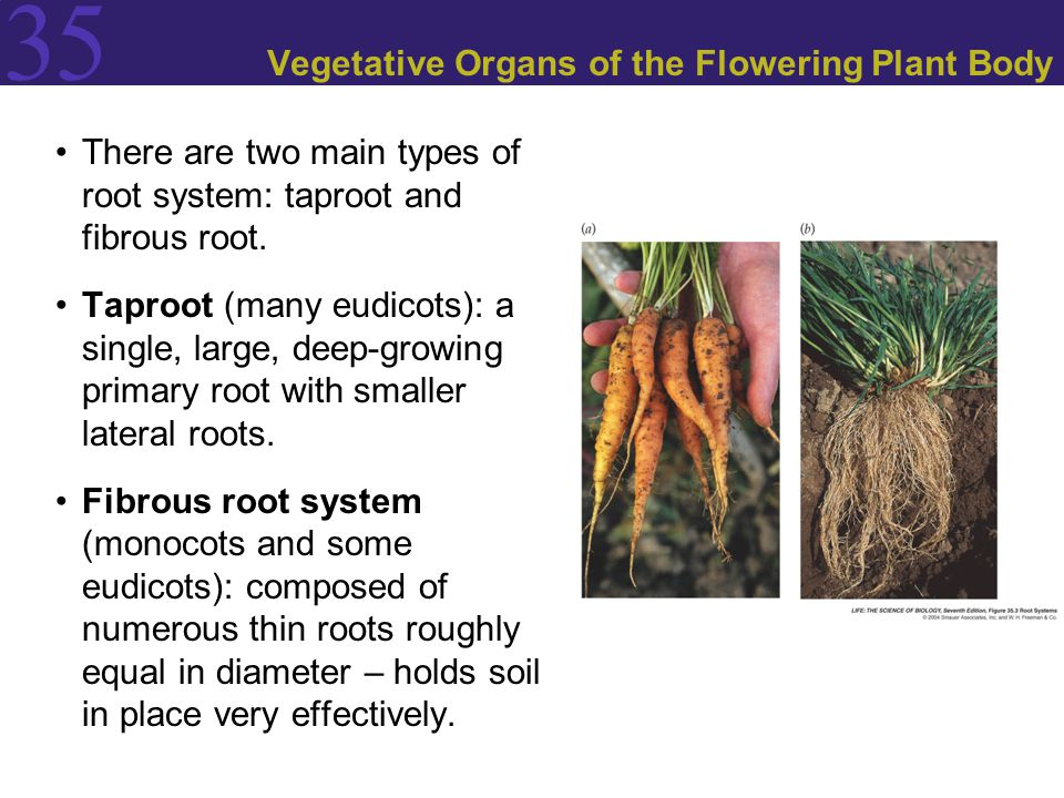 Vegetative Organs of the Flowering Plant Body