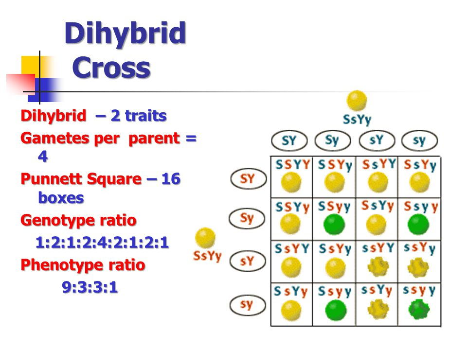 Dihybrid Cross Dihybrid – 2 traits Gametes per parent = 4