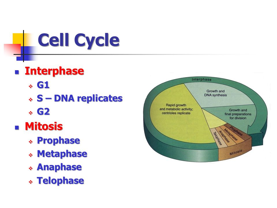 Cell Cycle Interphase Mitosis G1 S – DNA replicates G2 Prophase