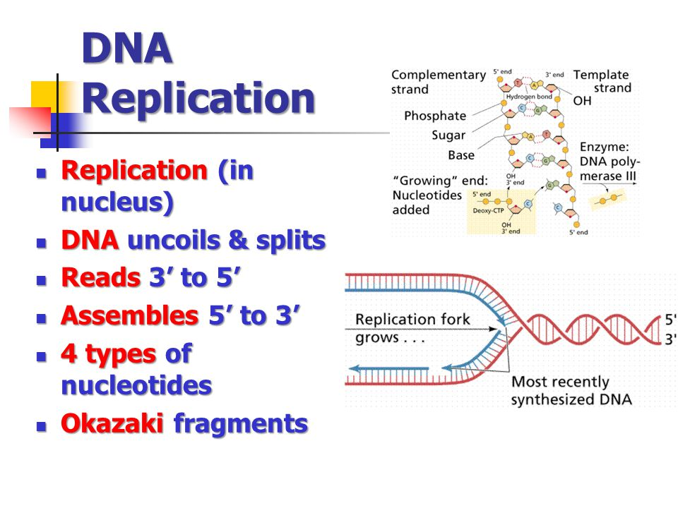 DNA Replication Replication (in nucleus) DNA uncoils & splits