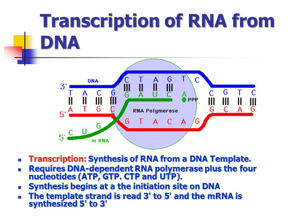Transcription of RNA from DNA