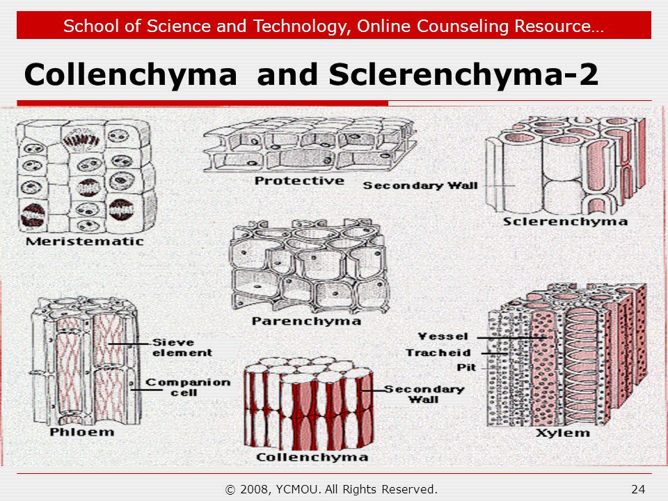 Collenchyma and Sclerenchyma-2