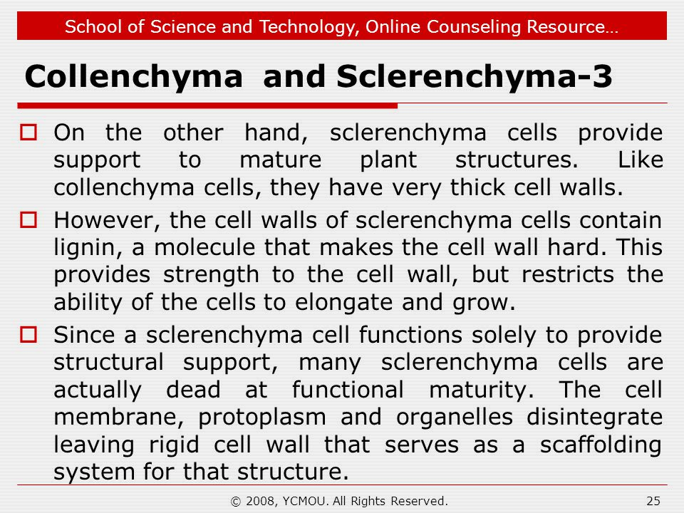 Collenchyma and Sclerenchyma-3