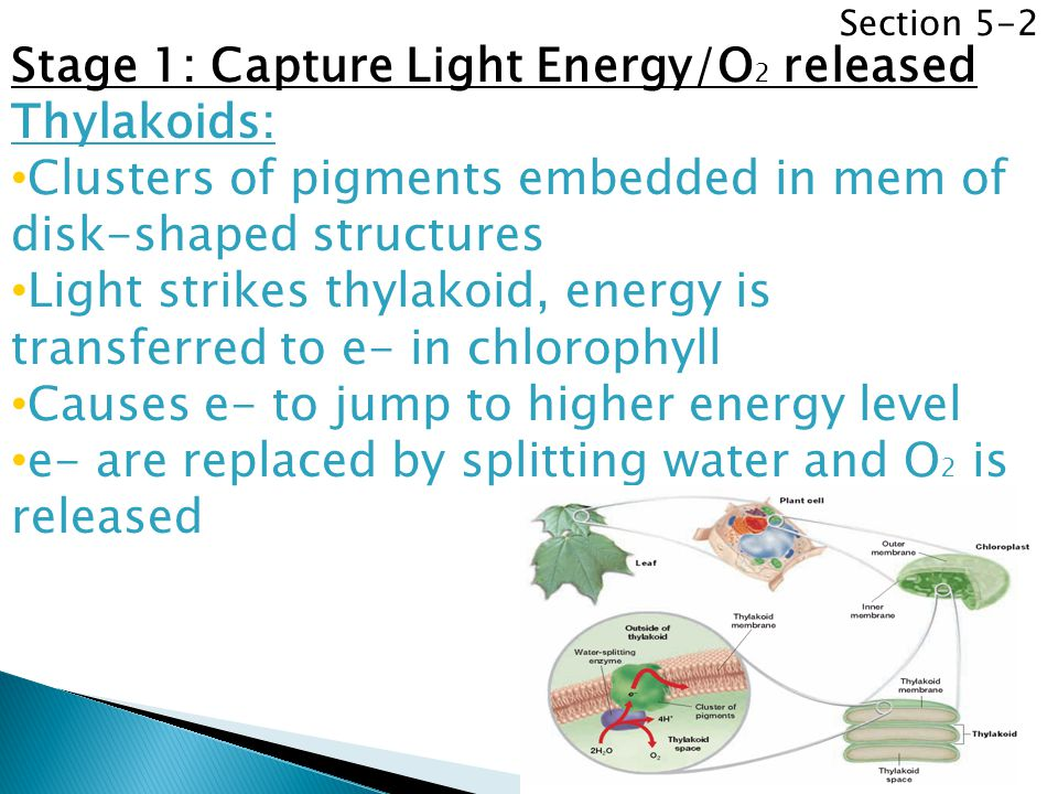 Stage 1: Capture Light Energy/O2 released Thylakoids:
