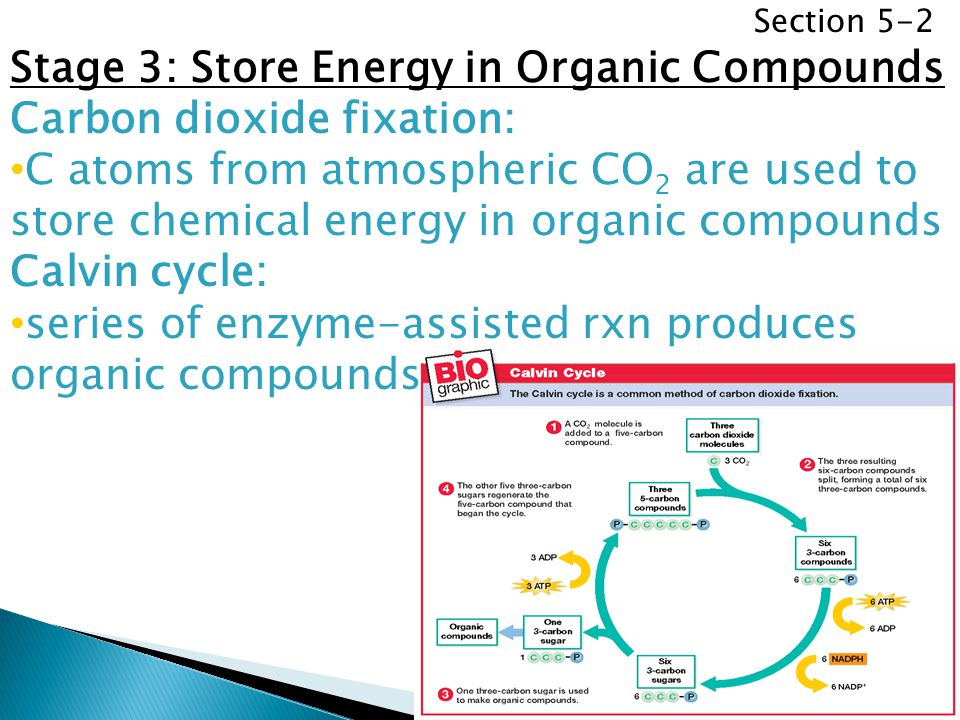 Stage 3: Store Energy in Organic Compounds Carbon dioxide fixation: