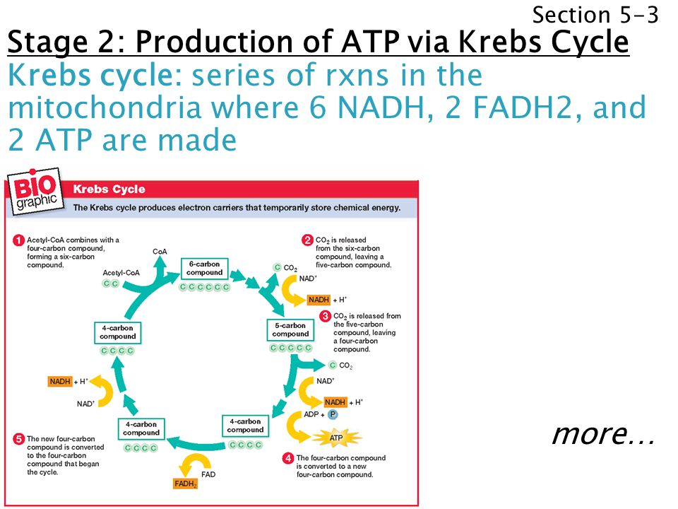 Stage 2: Production of ATP via Krebs Cycle