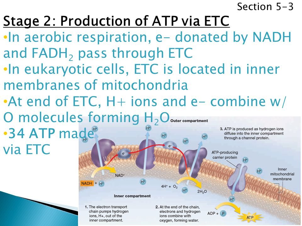 Stage 2: Production of ATP via ETC