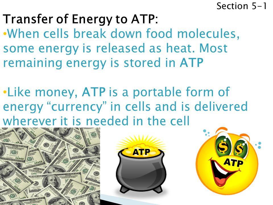 Transfer of Energy to ATP: