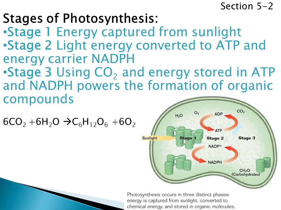 Stages of Photosynthesis: Stage 1 Energy captured from sunlight