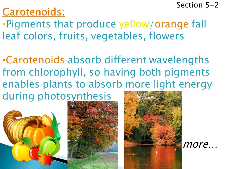 Section 5-2 Carotenoids: Pigments that produce yellow/orange fall leaf colors, fruits, vegetables, flowers.
