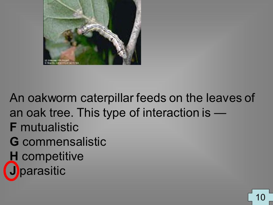 An oakworm caterpillar feeds on the leaves of