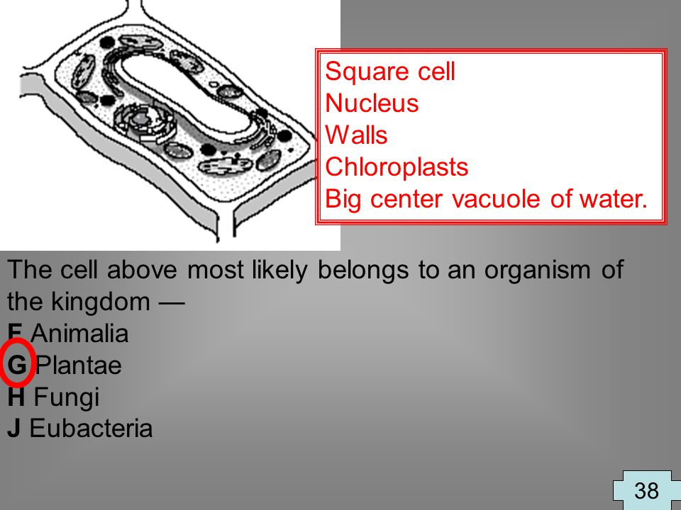Big center vacuole of water.
