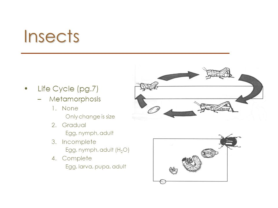 Insects Life Cycle (pg.7) Metamorphosis None Gradual Incomplete