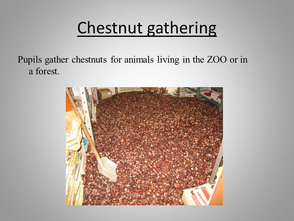 Chestnut gathering Pupils gather chestnuts for animals living in the ZOO or in a forest.