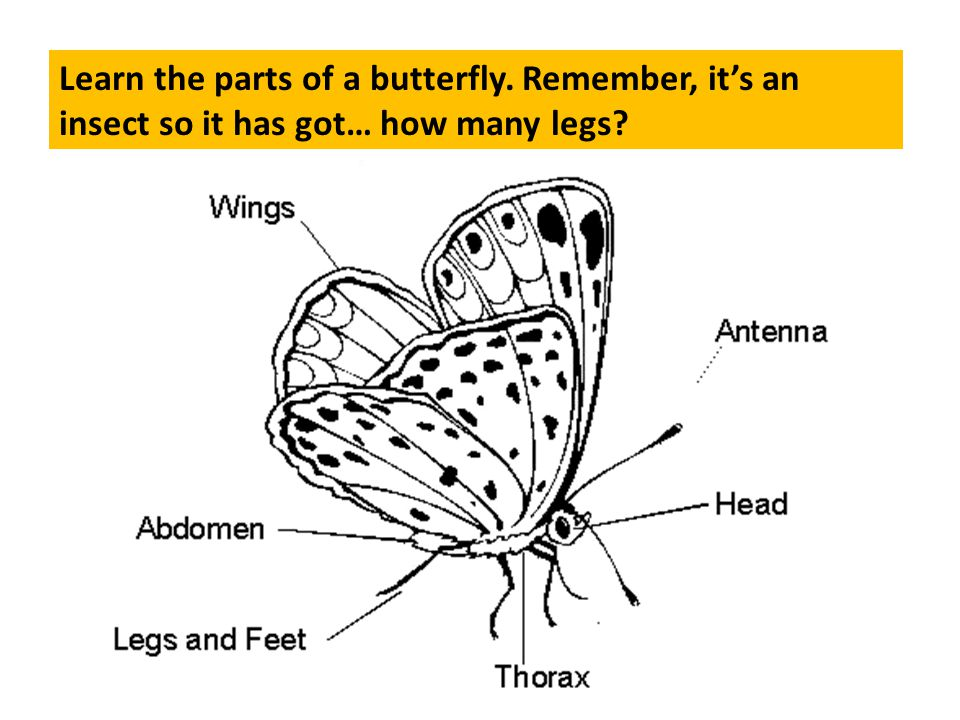 Learn the parts of a butterfly