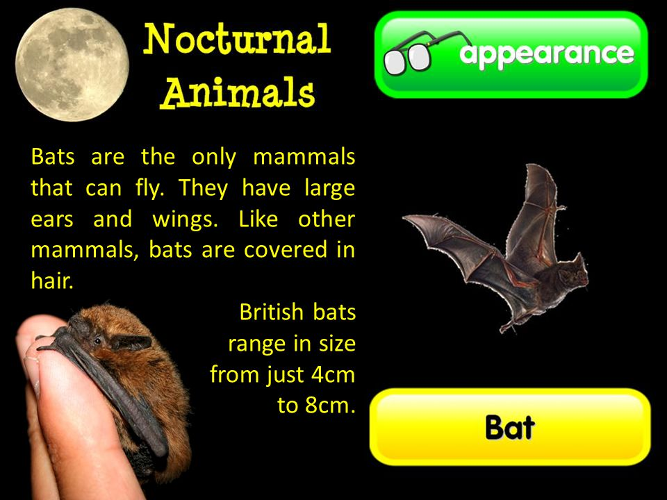 Bats are the only mammals that can fly. They have large ears and wings