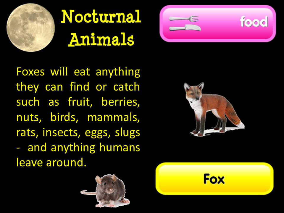 Foxes will eat anything they can find or catch such as fruit, berries, nuts, birds, mammals, rats, insects, eggs, slugs - and anything humans leave around.