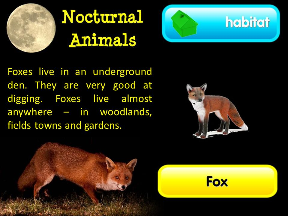Foxes live in an underground den. They are very good at digging