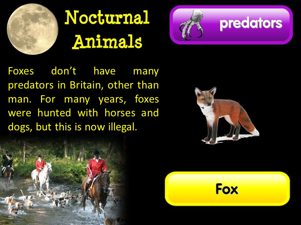 Foxes don't have many predators in Britain, other than man
