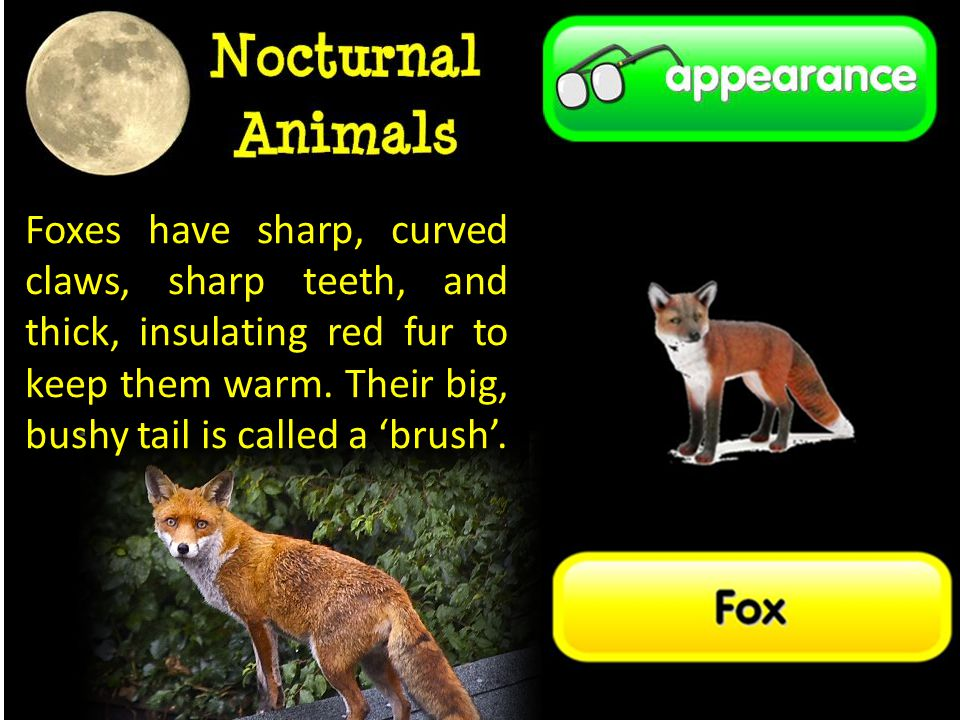 Foxes have sharp, curved claws, sharp teeth, and thick, insulating red fur to keep them warm.