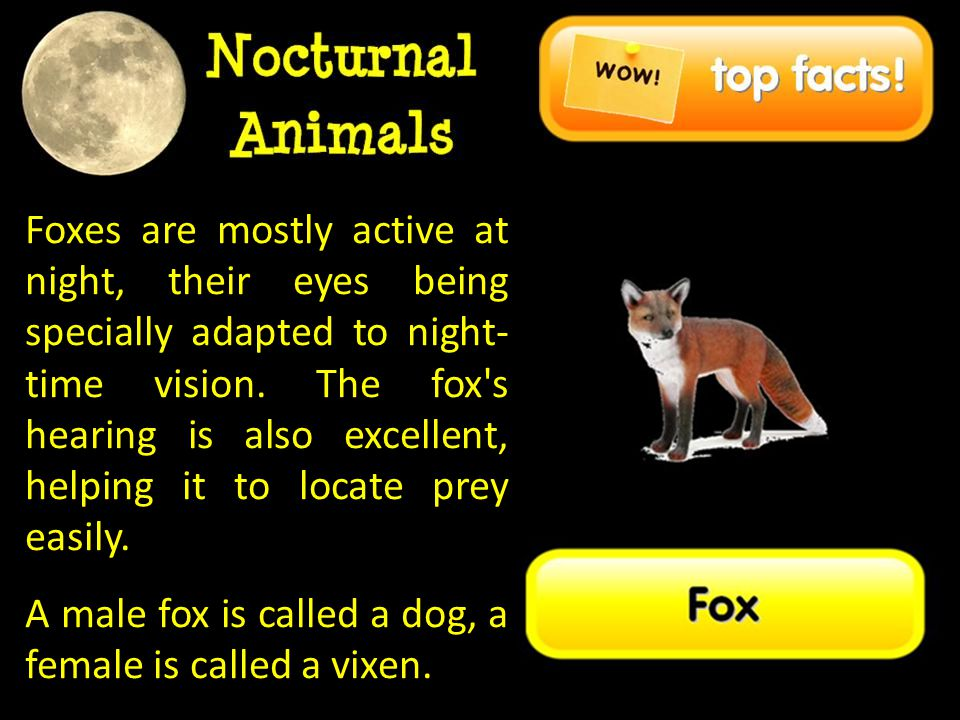Foxes are mostly active at night, their eyes being specially adapted to night-time vision. The fox s hearing is also excellent, helping it to locate prey easily.
