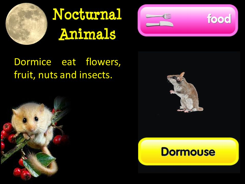 Dormice eat flowers, fruit, nuts and insects.