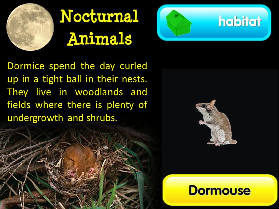 Dormice spend the day curled up in a tight ball in their nests