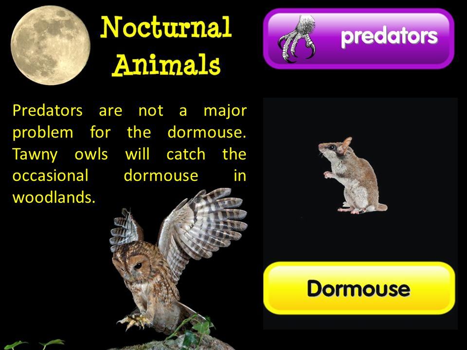 Predators are not a major problem for the dormouse