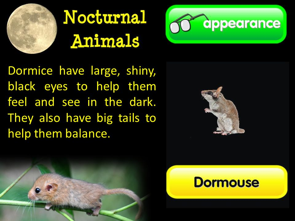 Dormice have large, shiny, black eyes to help them feel and see in the dark.