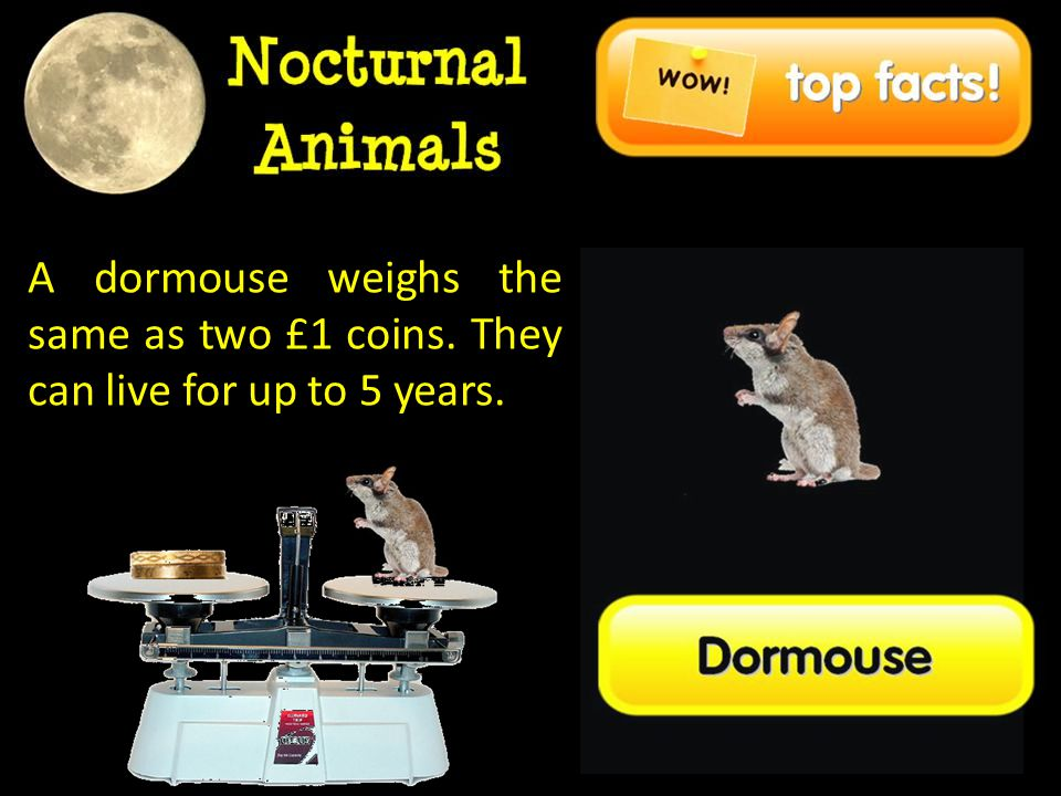 A dormouse weighs the same as two £1 coins