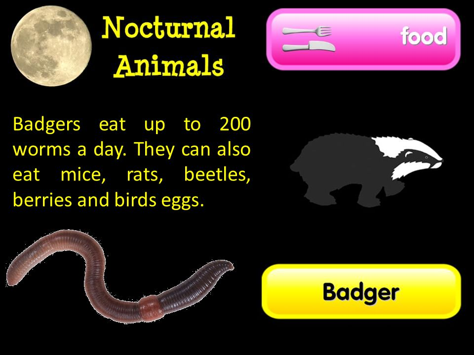 Badgers eat up to 200 worms a day