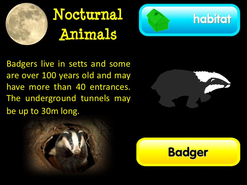 Badgers live in setts and some are over 100 years old and may have more than 40 entrances.