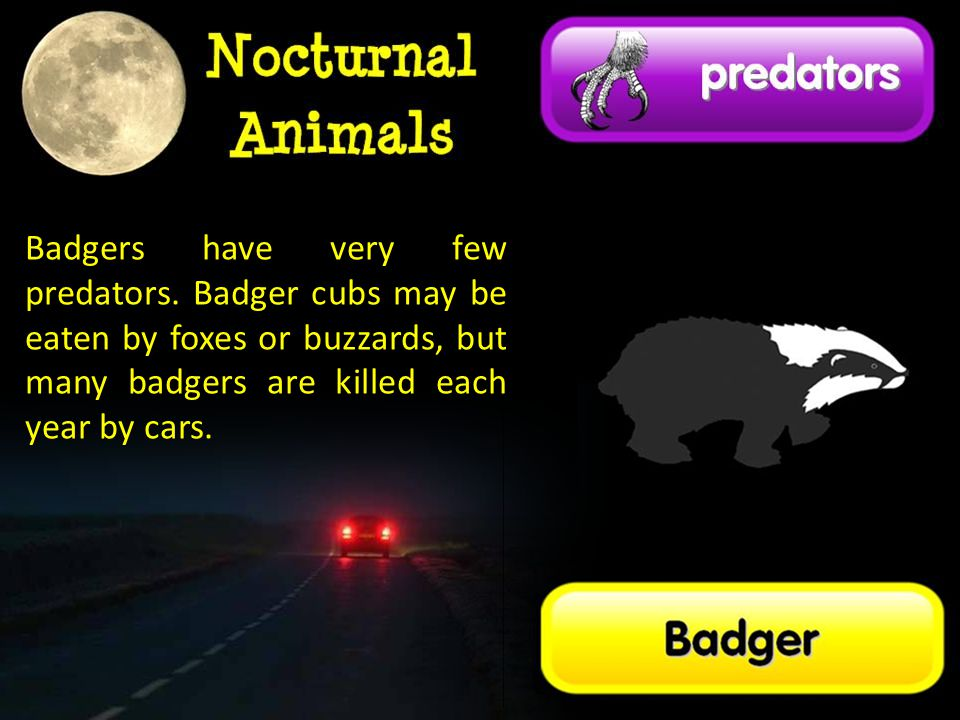 Badgers have very few predators