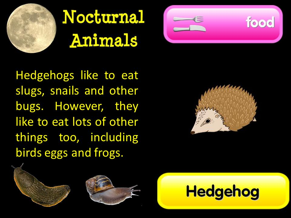 Hedgehogs like to eat slugs, snails and other bugs