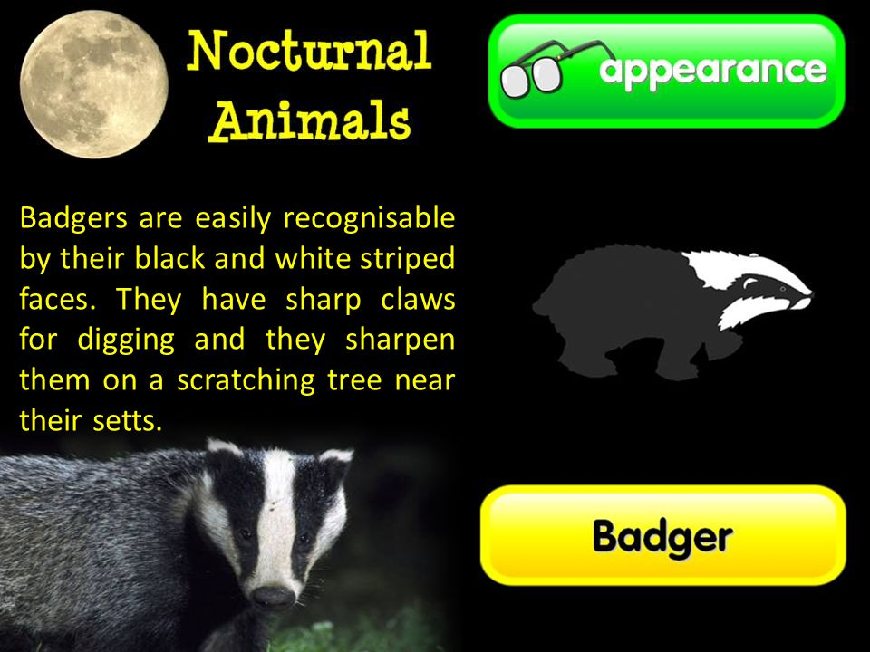 Badgers are easily recognisable by their black and white striped faces