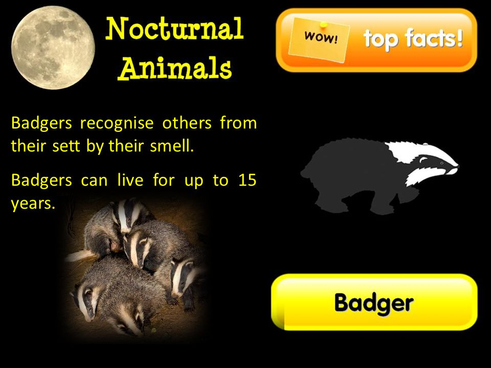 Badgers recognise others from their sett by their smell.