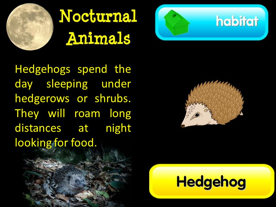Hedgehogs spend the day sleeping under hedgerows or shrubs