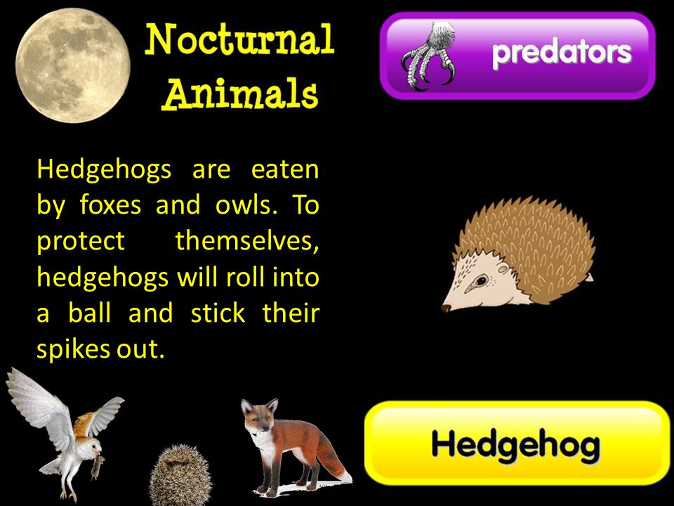 Hedgehogs are eaten by foxes and owls