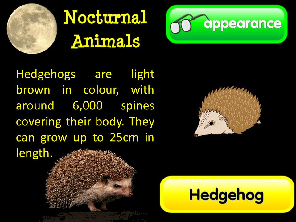 Hedgehogs are light brown in colour, with around 6,000 spines covering their body.