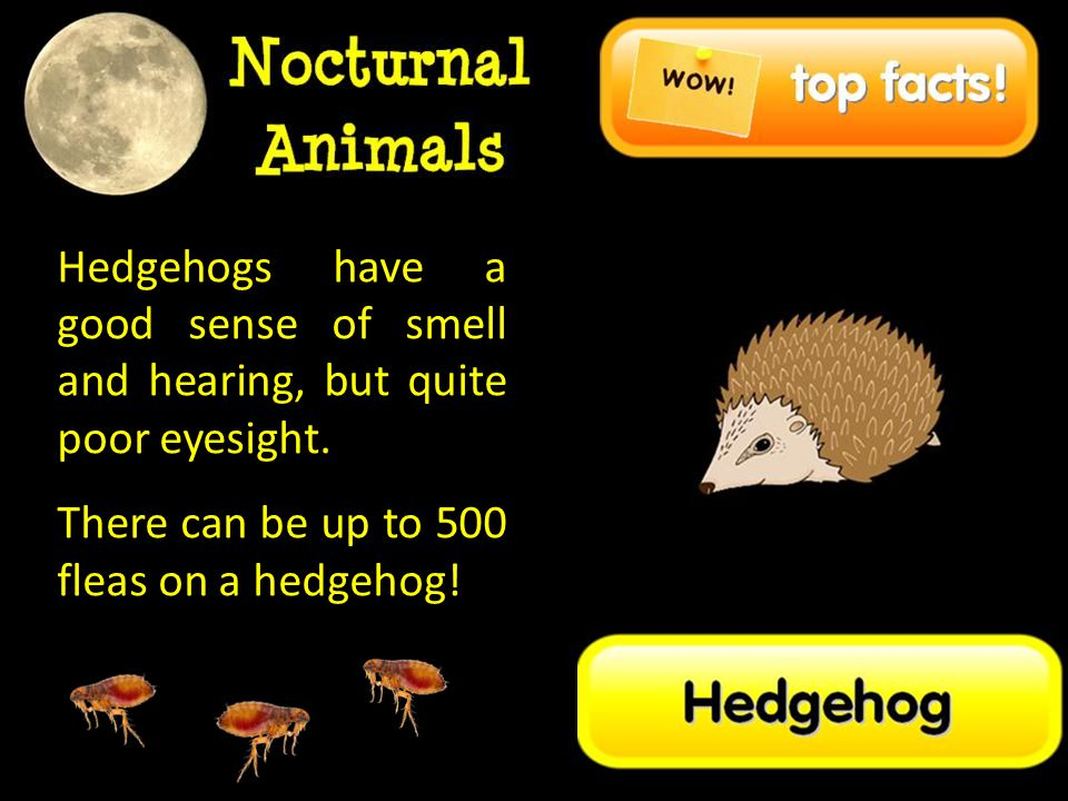Hedgehogs have a good sense of smell and hearing, but quite poor eyesight.