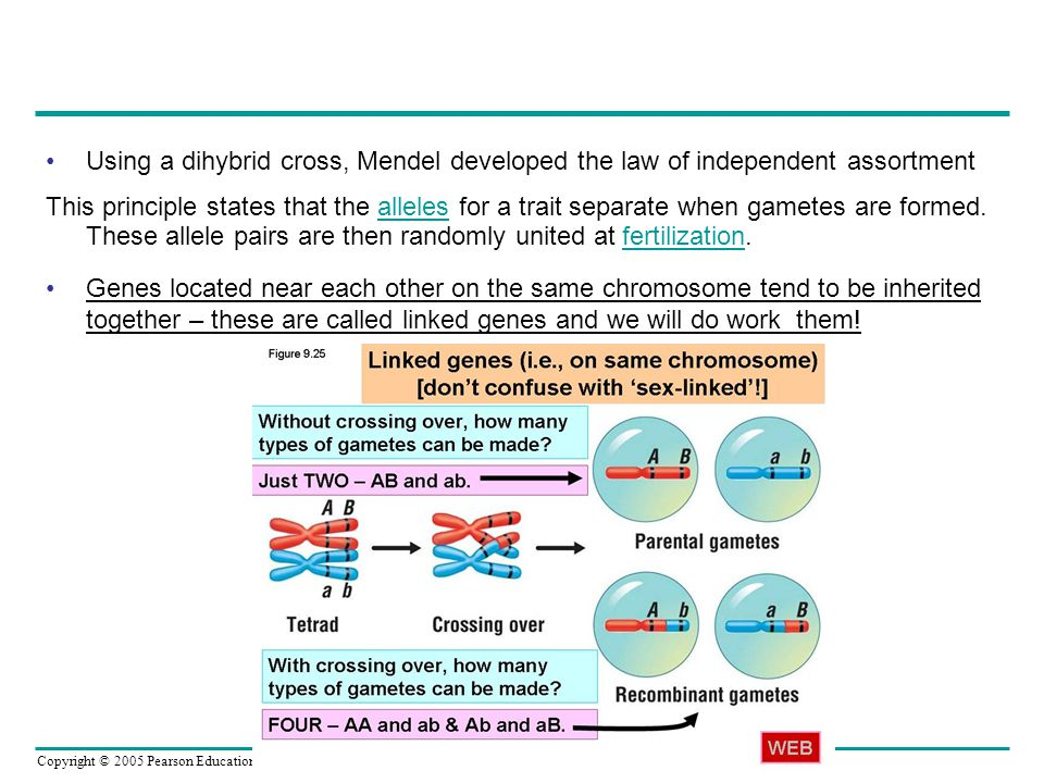 Using a dihybrid cross, Mendel developed the law of independent assortment