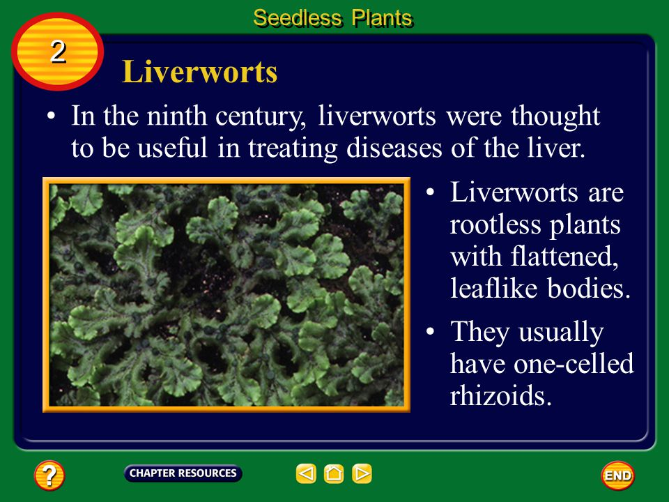 Seedless Plants 2. Liverworts. In the ninth century, liverworts were thought to be useful in treating diseases of the liver.