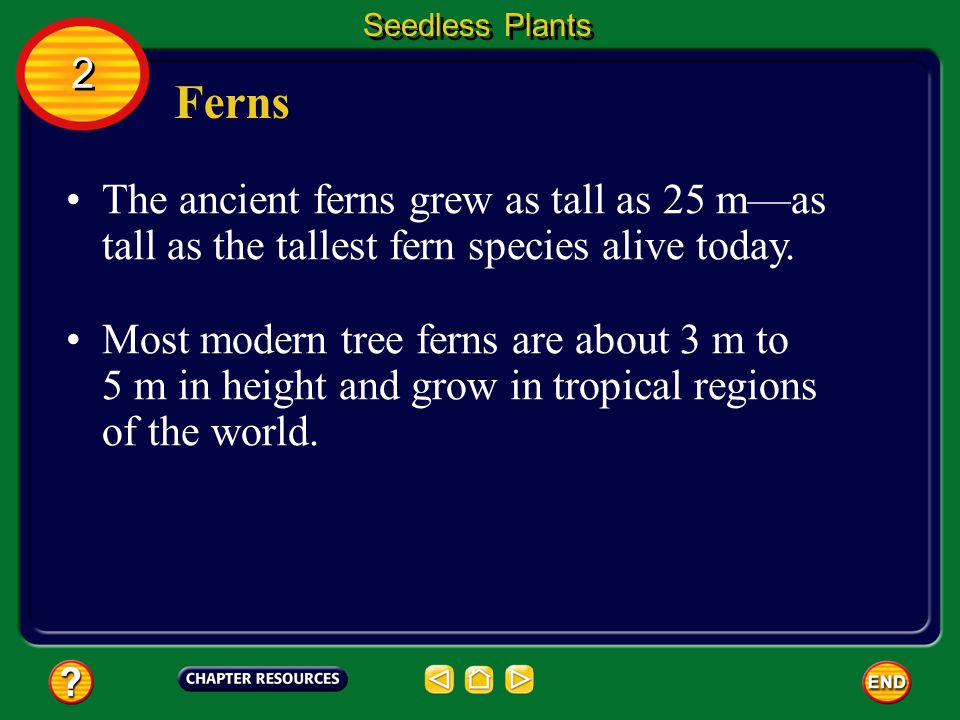 Seedless Plants 2. Ferns. The ancient ferns grew as tall as 25 m—as tall as the tallest fern species alive today.