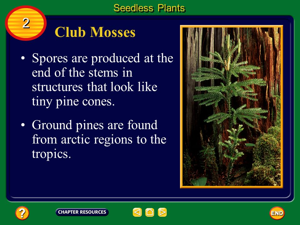 Seedless Plants 2. Club Mosses. Spores are produced at the end of the stems in structures that look like tiny pine cones.