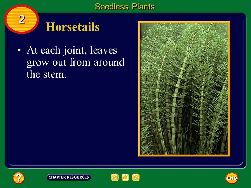 Horsetails 2 At each joint, leaves grow out from around the stem.