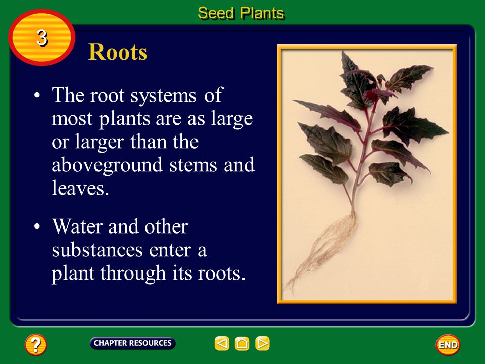 Seed Plants 3. Roots. The root systems of most plants are as large or larger than the aboveground stems and leaves.